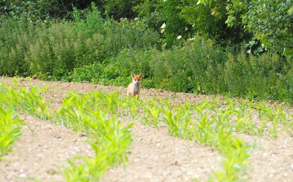 Photographie Animalière - Page 16 Renard10