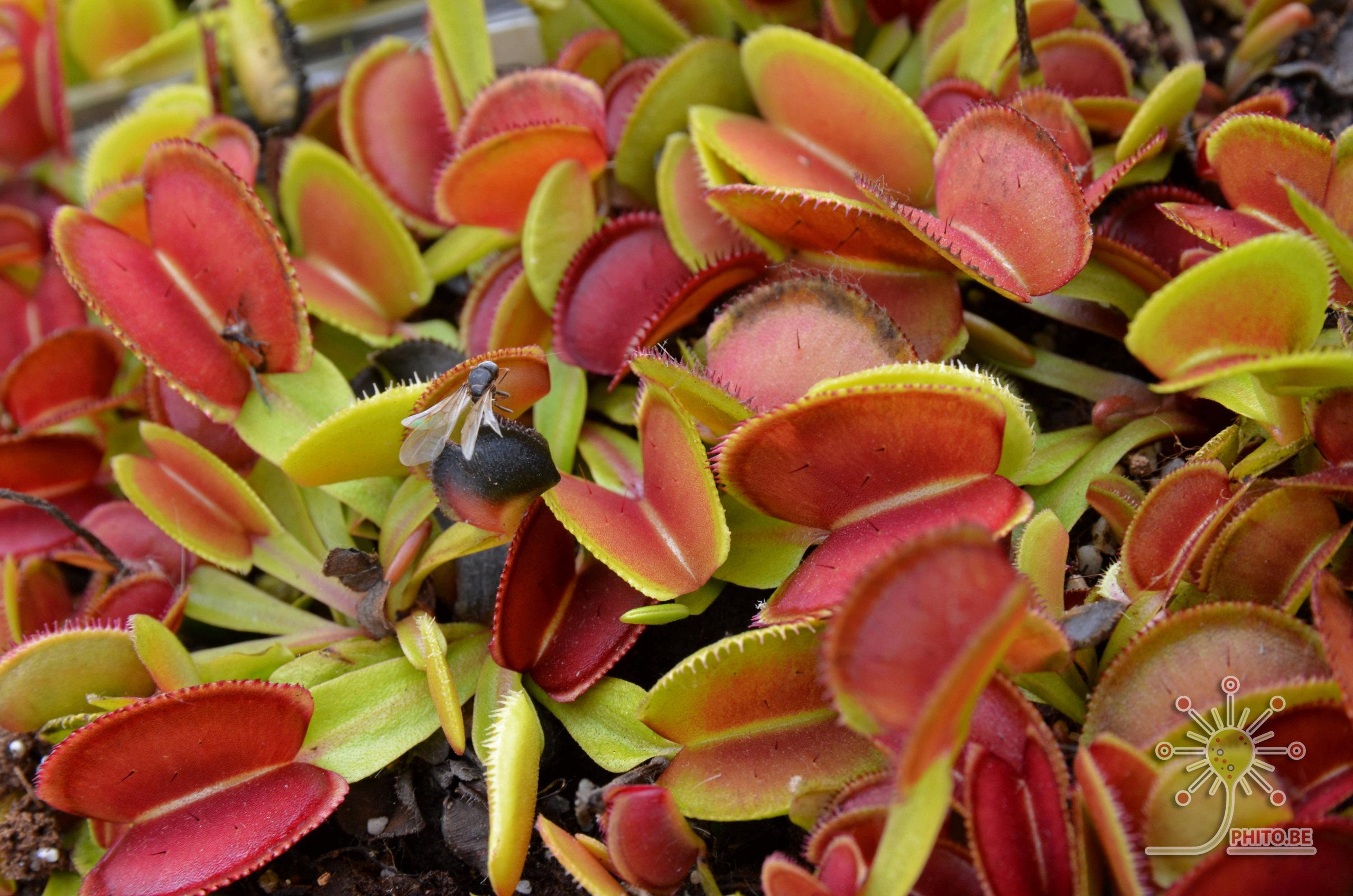 Quelque Dionaea Dsc_0410