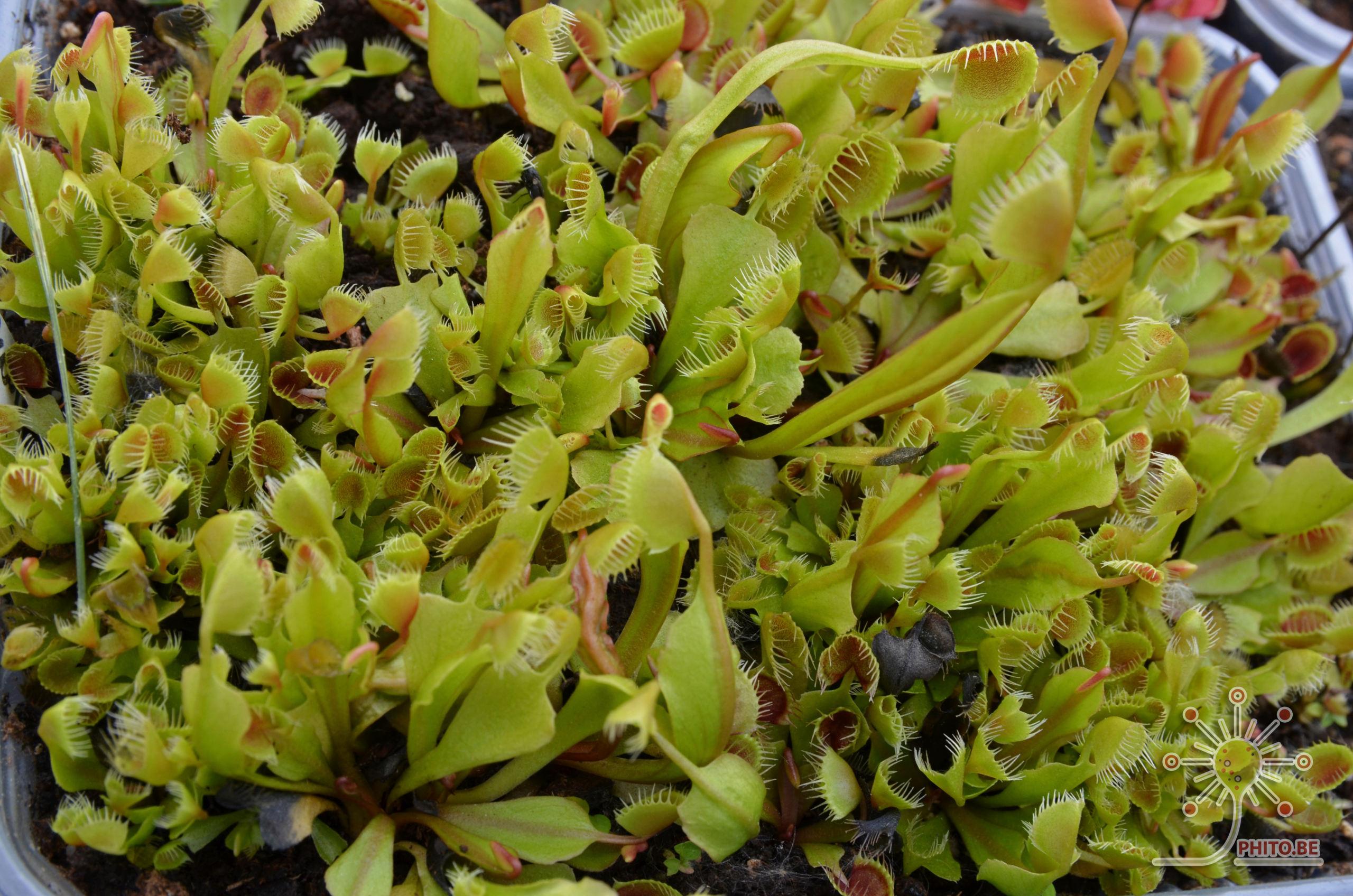 Quelque Dionaea Dsc_0411
