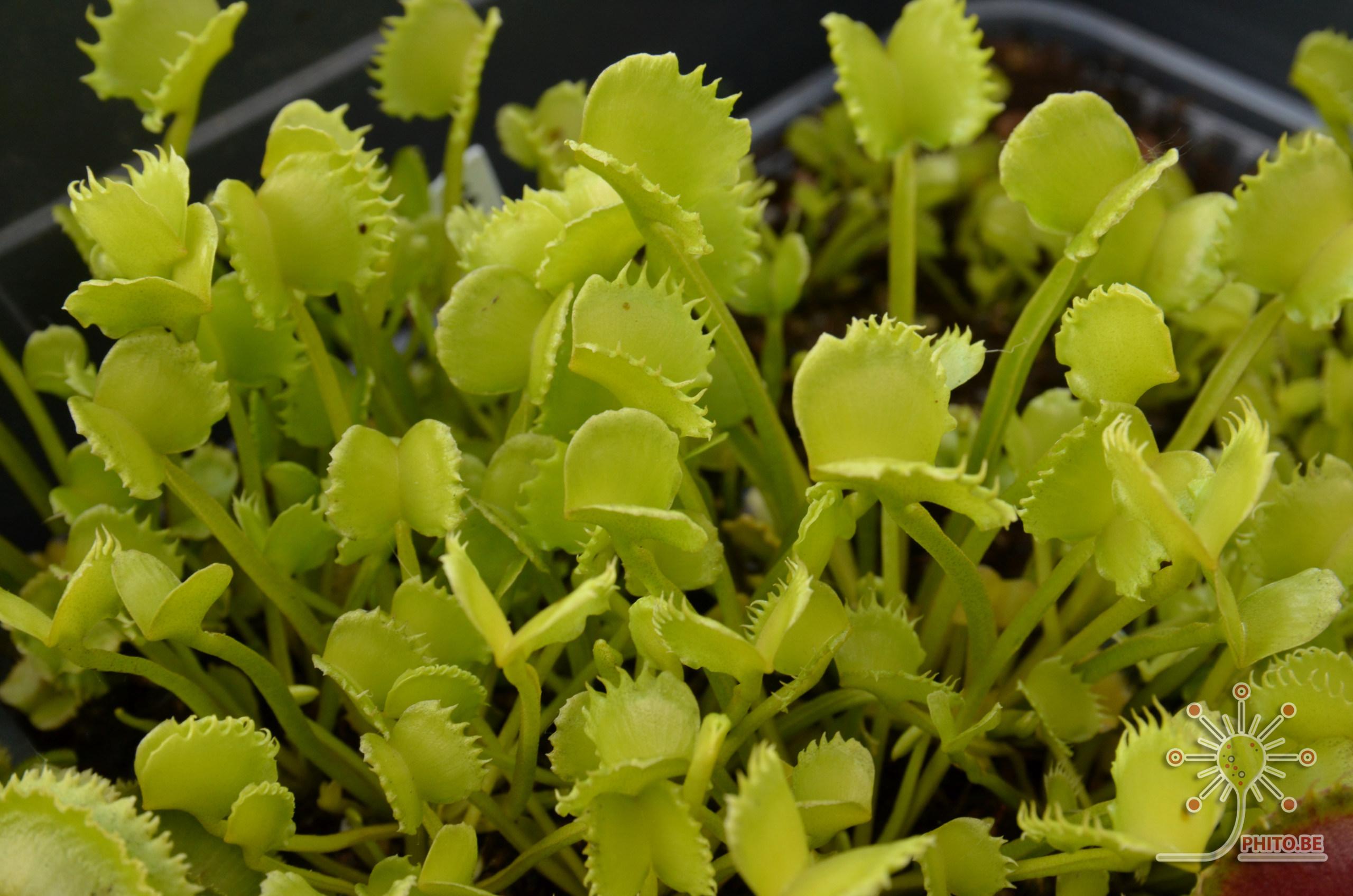 Quelque Dionaea Dsc_0511