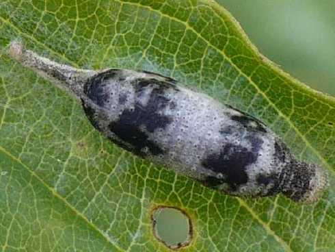 [Ichneumonidae Campopleginae] Pour info Cocon-10