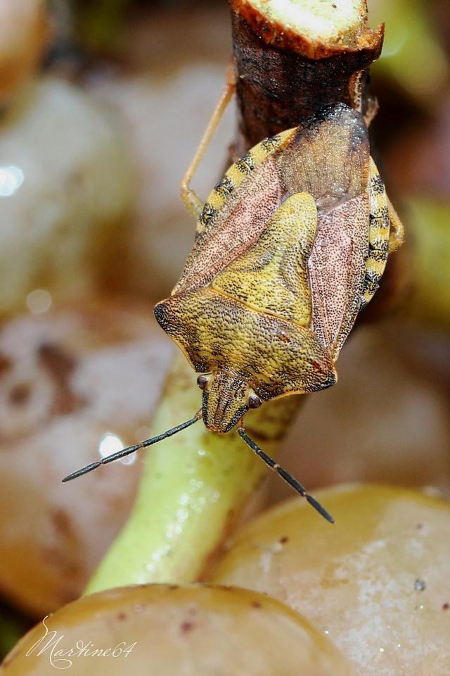 [Carpocoris sp. & C. purpureipennis] Pentatome Carpocoris purpureipennis Img_0910