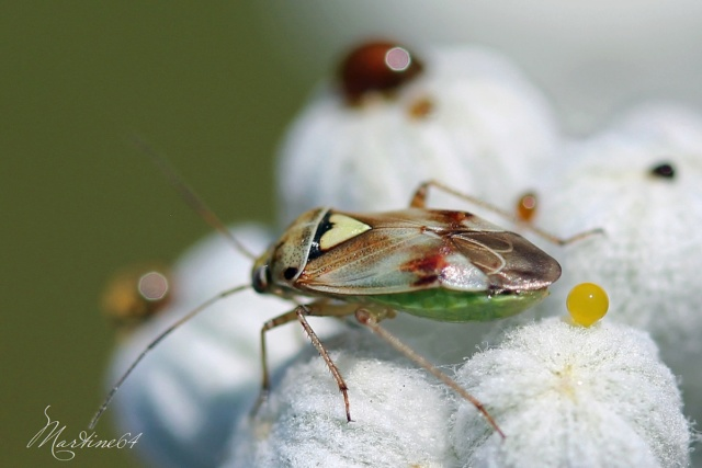 [Lygus sp.] Pour identification Img_2015