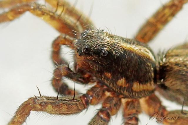 [ Pardosa ] Pour identification Img_5311