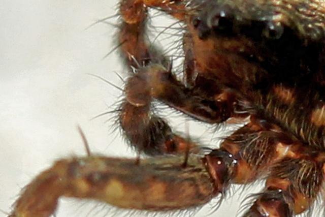 [ Pardosa ] Pour identification Img_5416