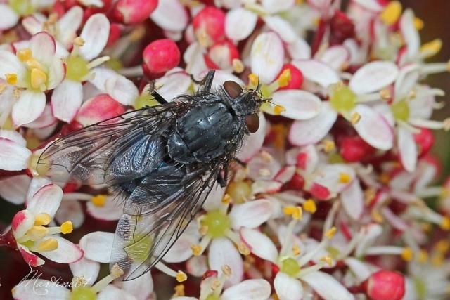 [Calliphora vicina] Pour identification Img_7010