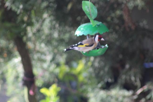 Les oiseaux du jardin - Page 2 Img_0648