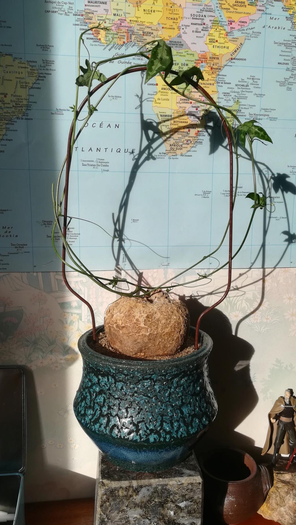 Adenia lindenii Img_1258
