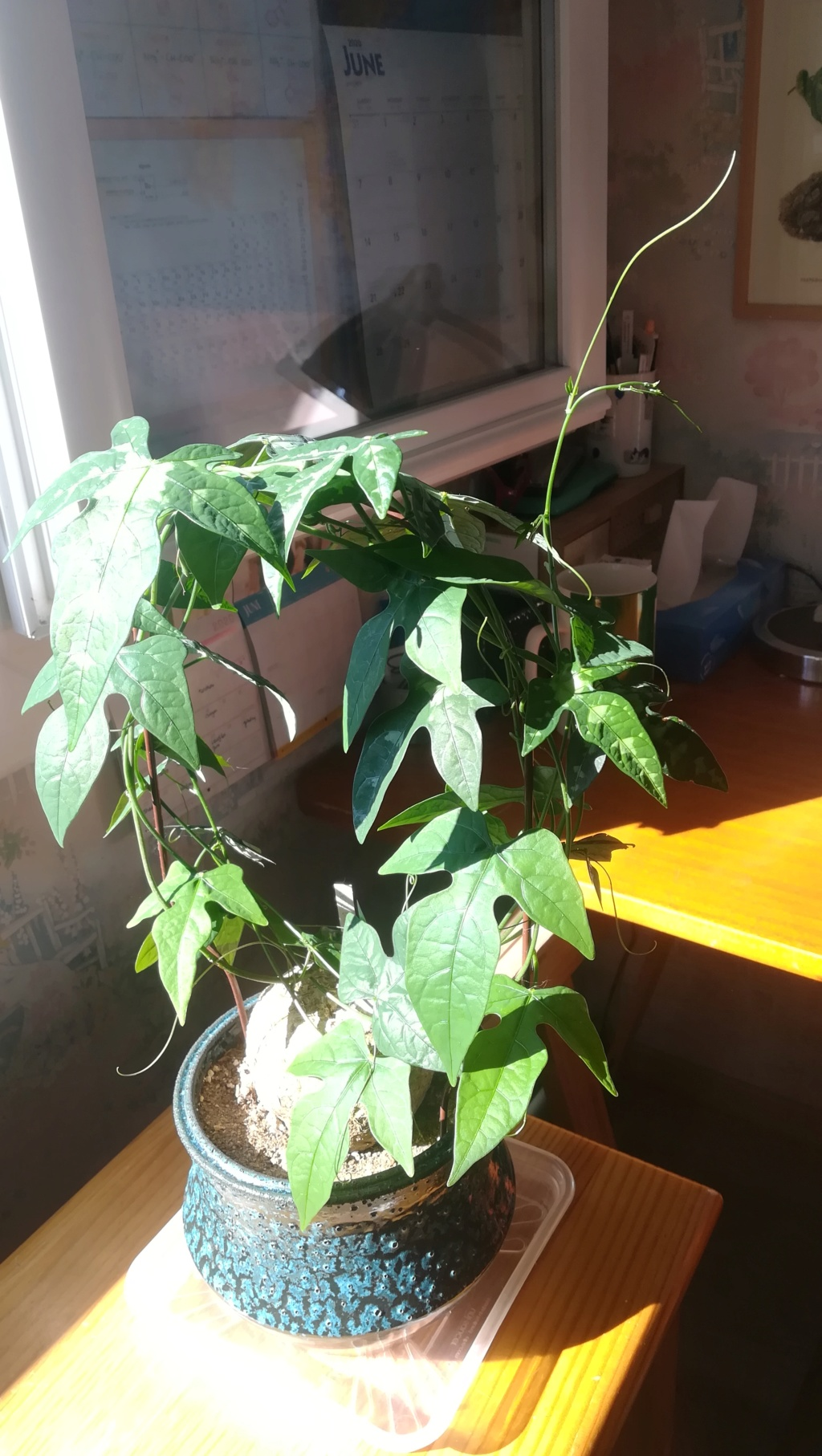 Adenia lindenii Img_1473