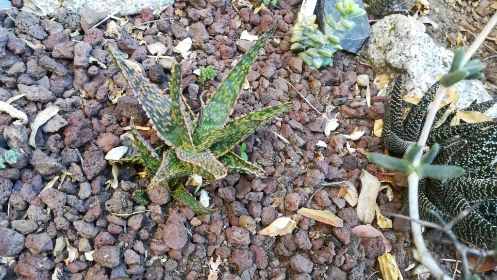 Nom de cet Aloe Img_2037