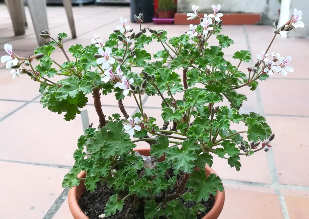 Geranium odorant Img_2421