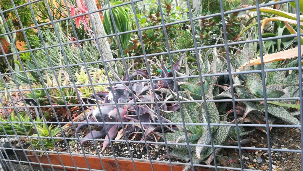 Les succulentes du jardin botanique de Nantes  Img_2675