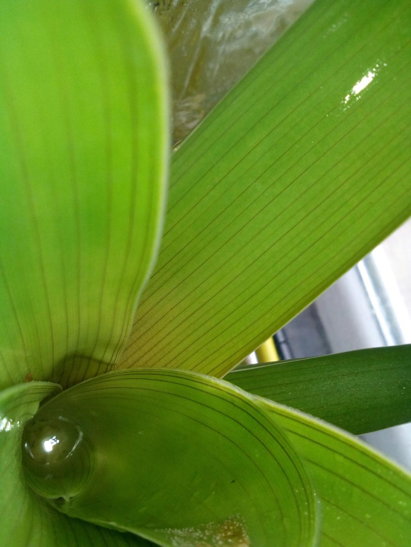 Brocchinia reducta Img_2011