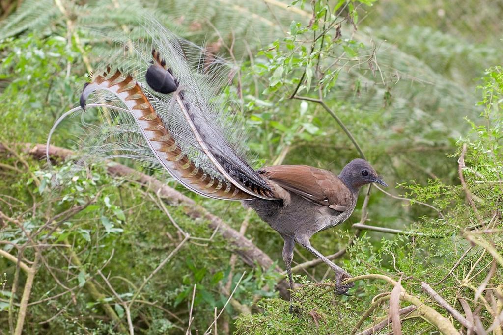 Le Saviez-vous ? Les prouesses vocales de l'Oiseau Lyre 1280px10