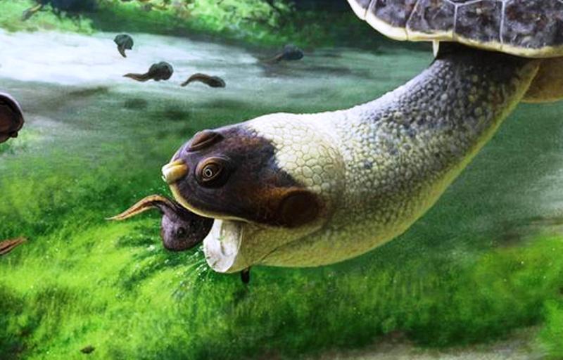 Des Fribourgeois découvrent une tortue qui aspirait ses proies (diaporama et vidéo) By Jack35 Captur79