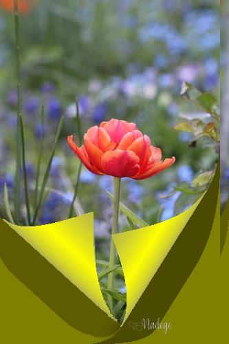 """N° 3 """" Corne sur une Image """" - Page 5 Tulipe13"""