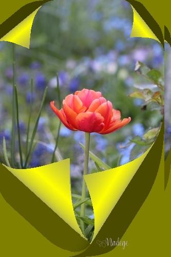 """N° 3 """" Corne sur une Image """" - Page 3 Tulipe14"""