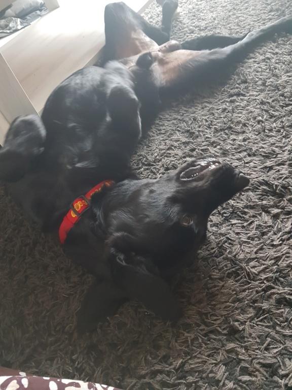Owen, mâle croisé labrador noir 20180815