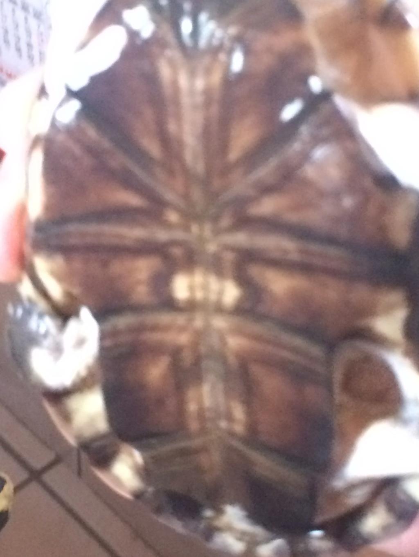 """Néophite total qui """"hérite"""" d'une tortue  05510"""