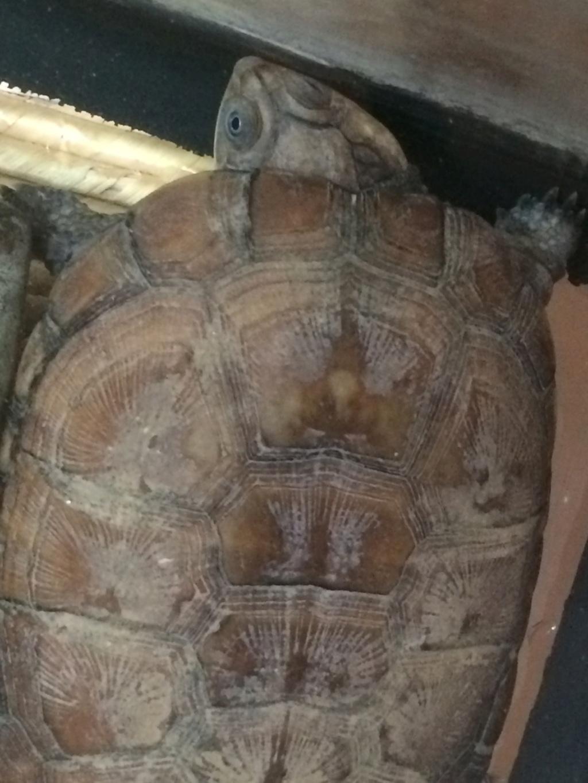 """Néophite total qui """"hérite"""" d'une tortue  05610"""