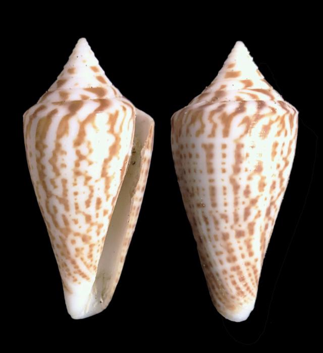 Conus (Dauciconus) regularis G.B Sowerby I, 1833 Img_8110