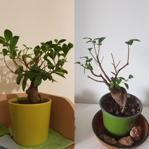 Consigli per un neofita sulla cura e manutenzione di un ficus bonsai 56770510