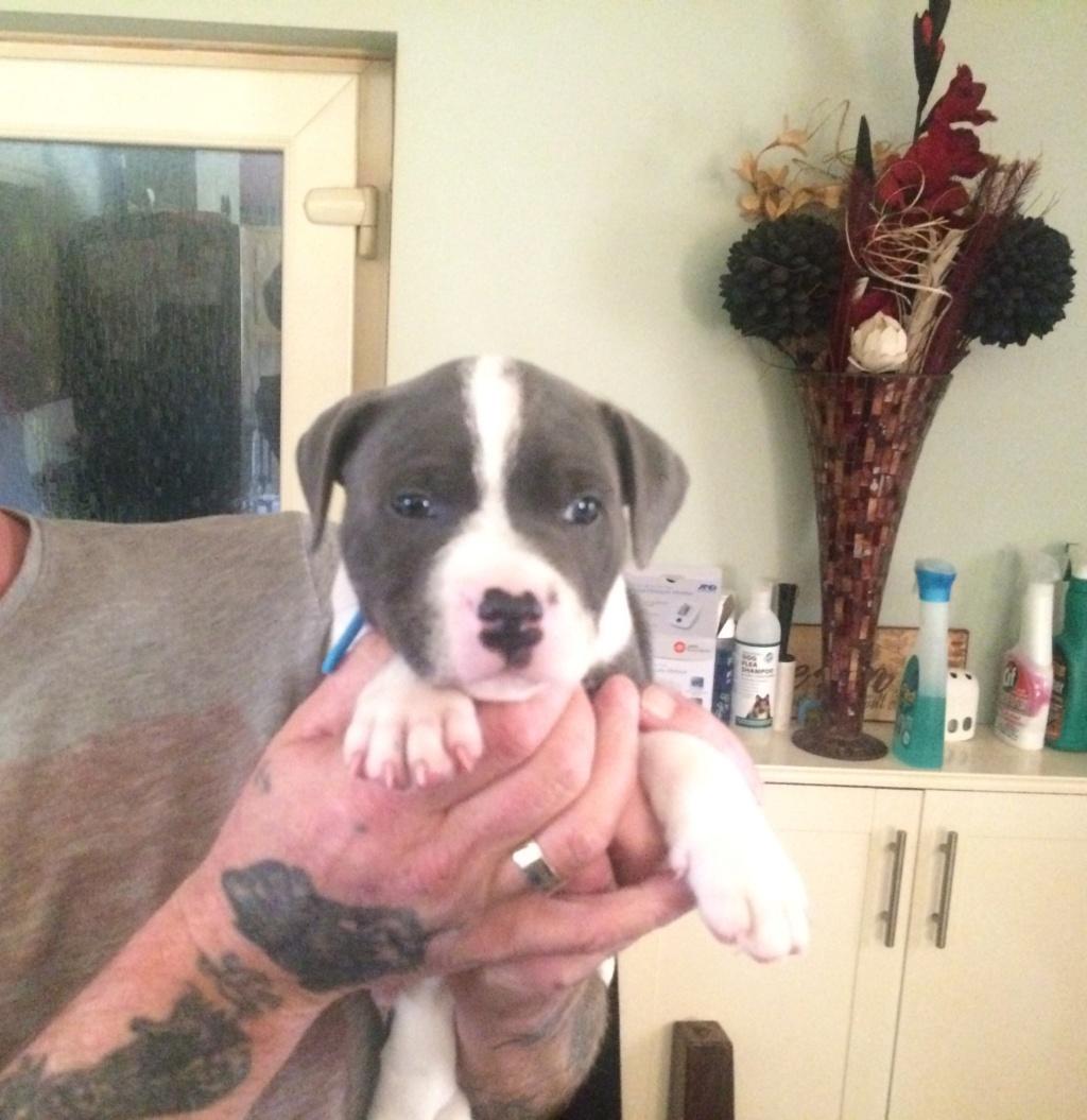 Staffordshire bull terrier puppies 47b2c110