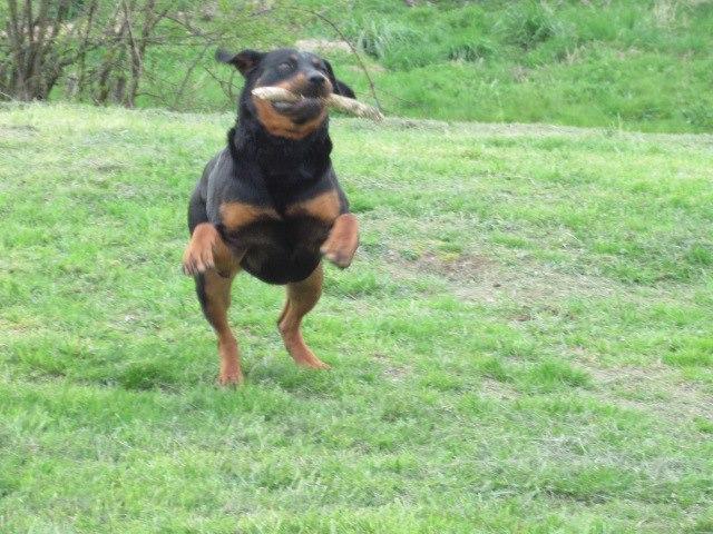 RIHANNA - femelle Rottweiler de taille moyenne, née environ en  2015 (PASCANI) - adoptée par Jessica (Belgique) - Page 3 Zarapt10
