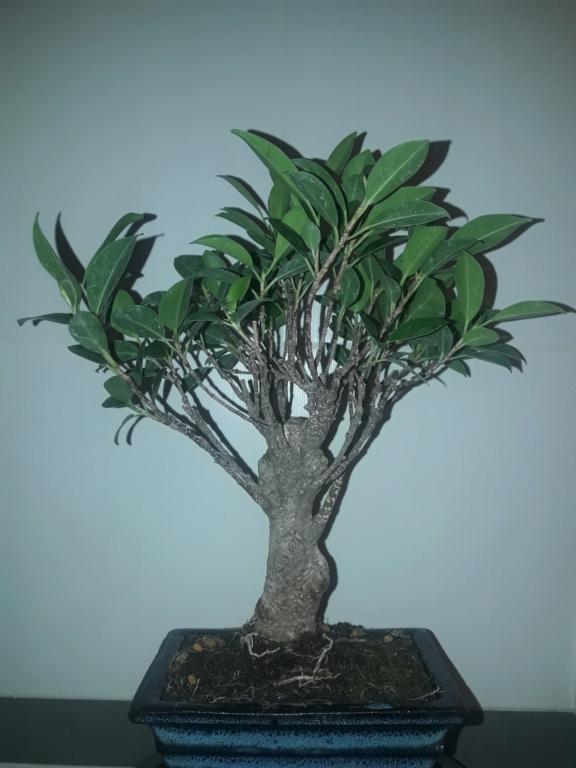 Ficus tiger bark 20190911