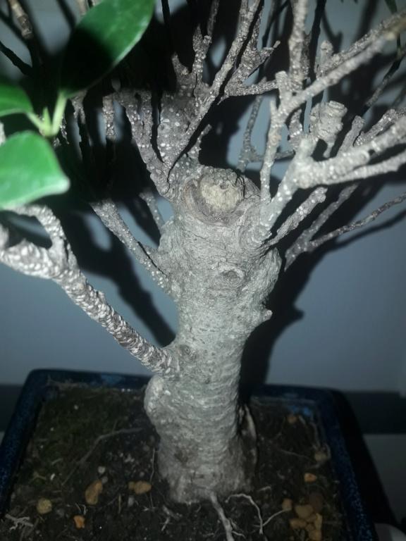 Ficus tiger bark 20190912