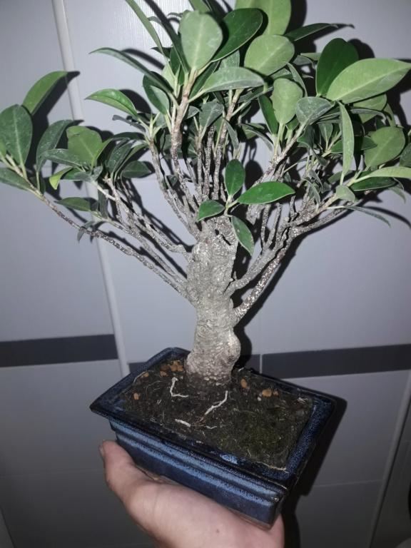 Ficus tiger bark 20190922