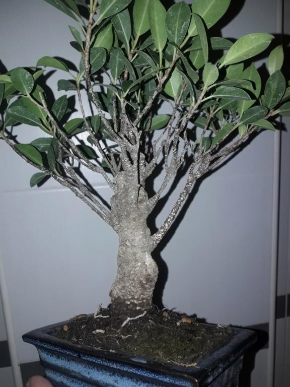 Ficus tiger bark 20190923