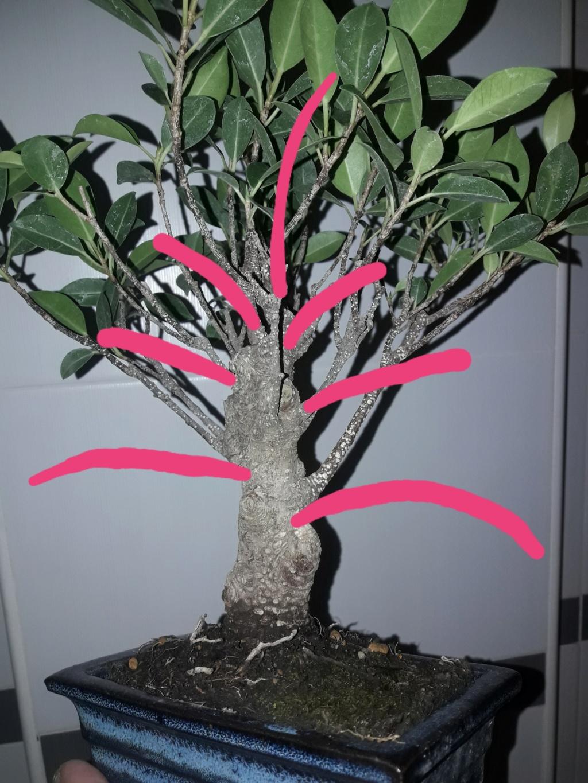 Ficus tiger bark 20190924