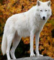 ID de Dauson W. Sletters Canis-11