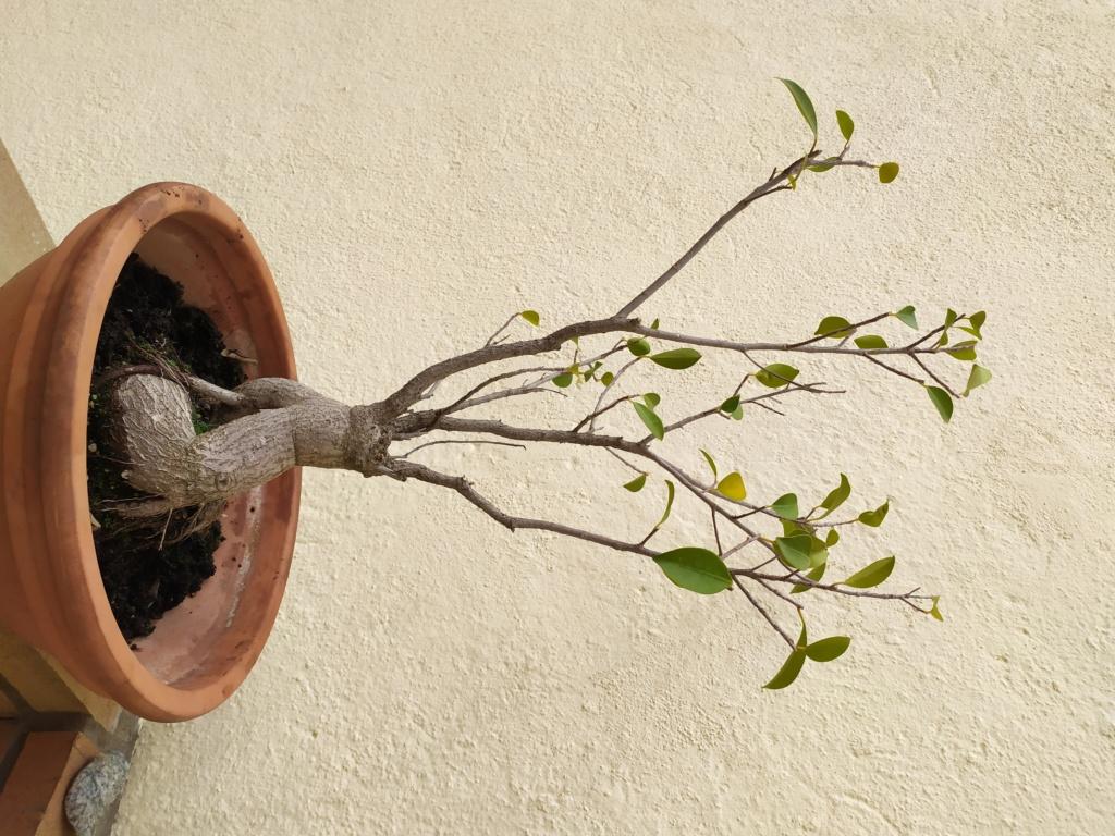 Ficus retusa Img_2010