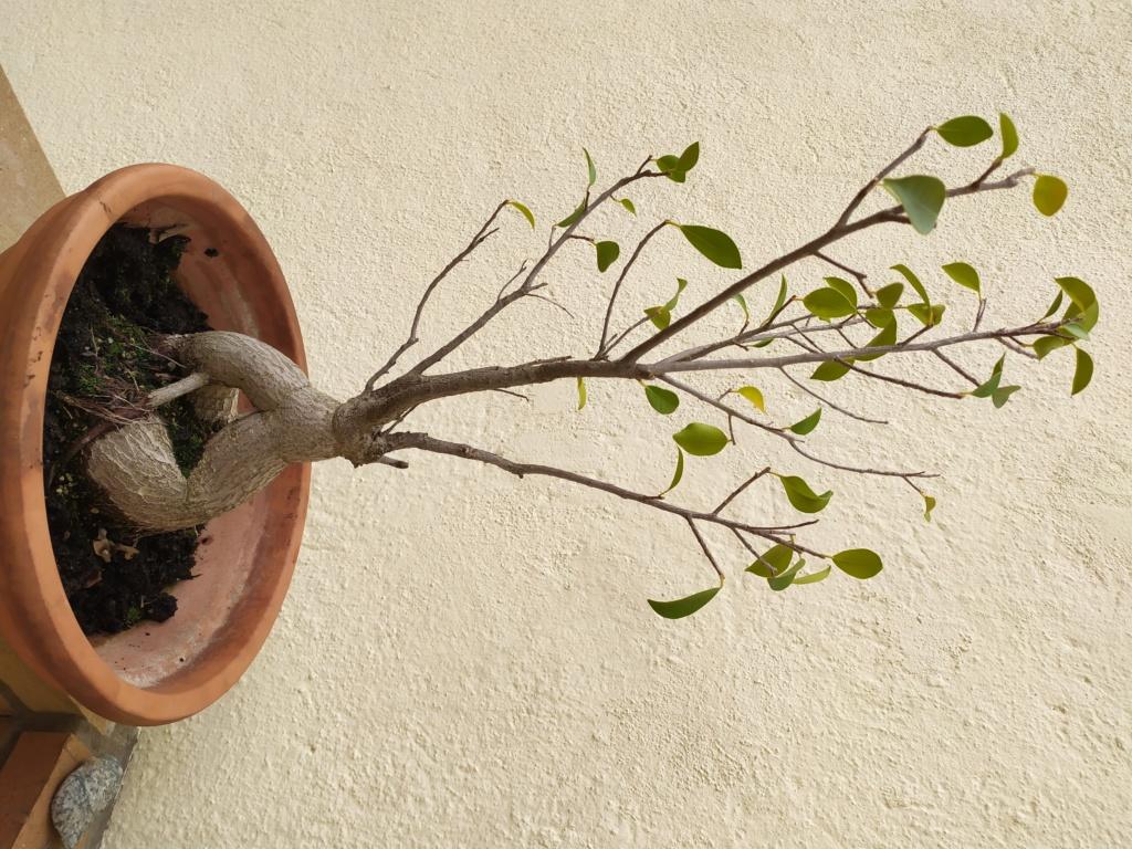 Ficus retusa Img_2012