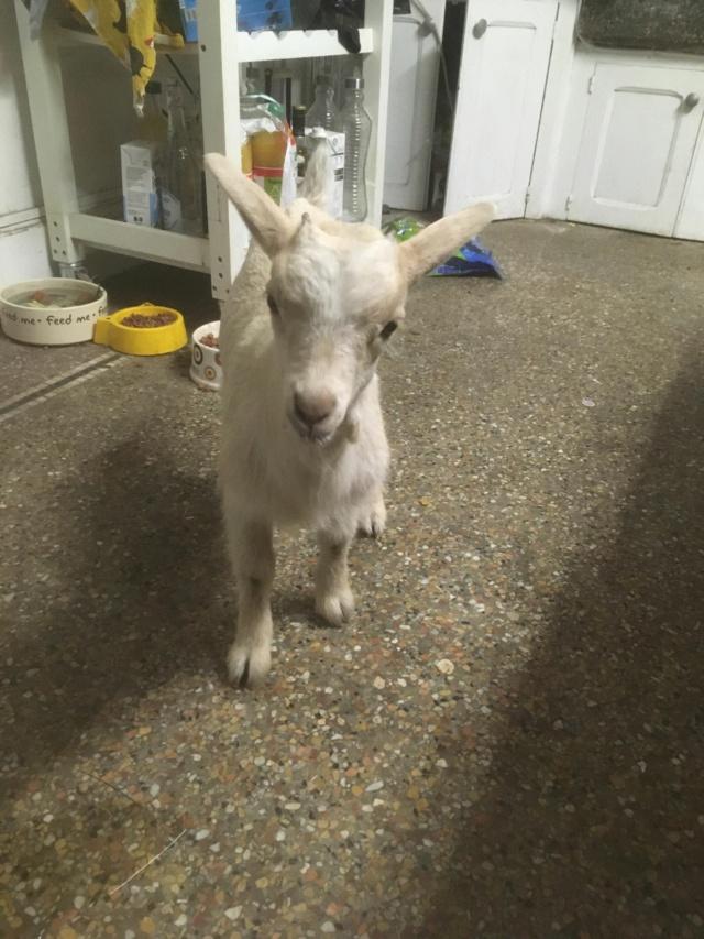 Petite chèvre orpheline 11820910