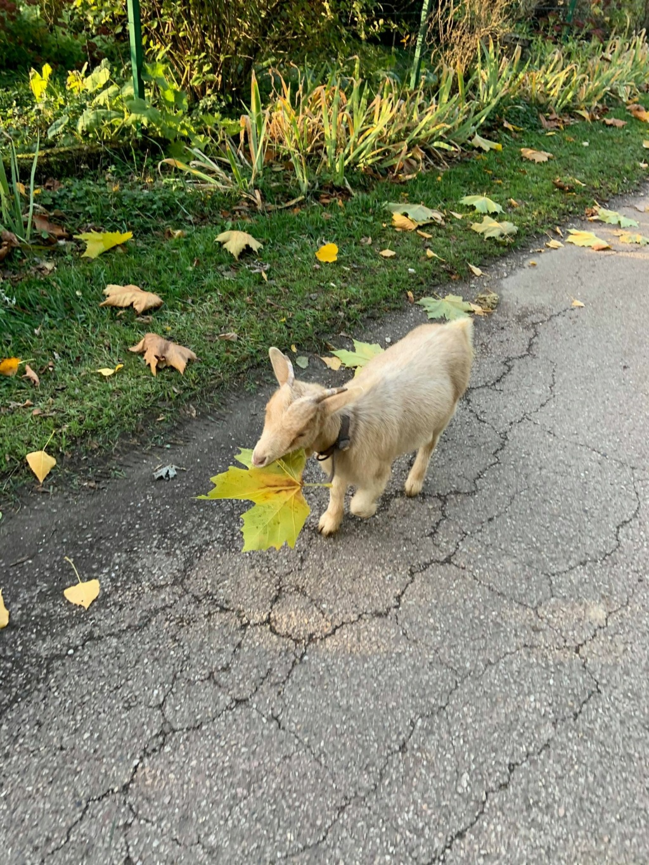 Petite chèvre orpheline 12369210