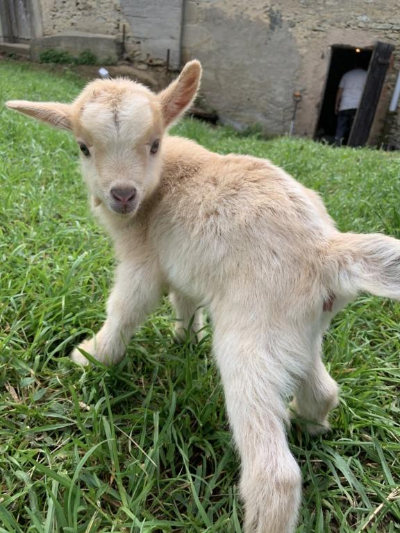 Petite chèvre orpheline D236c710