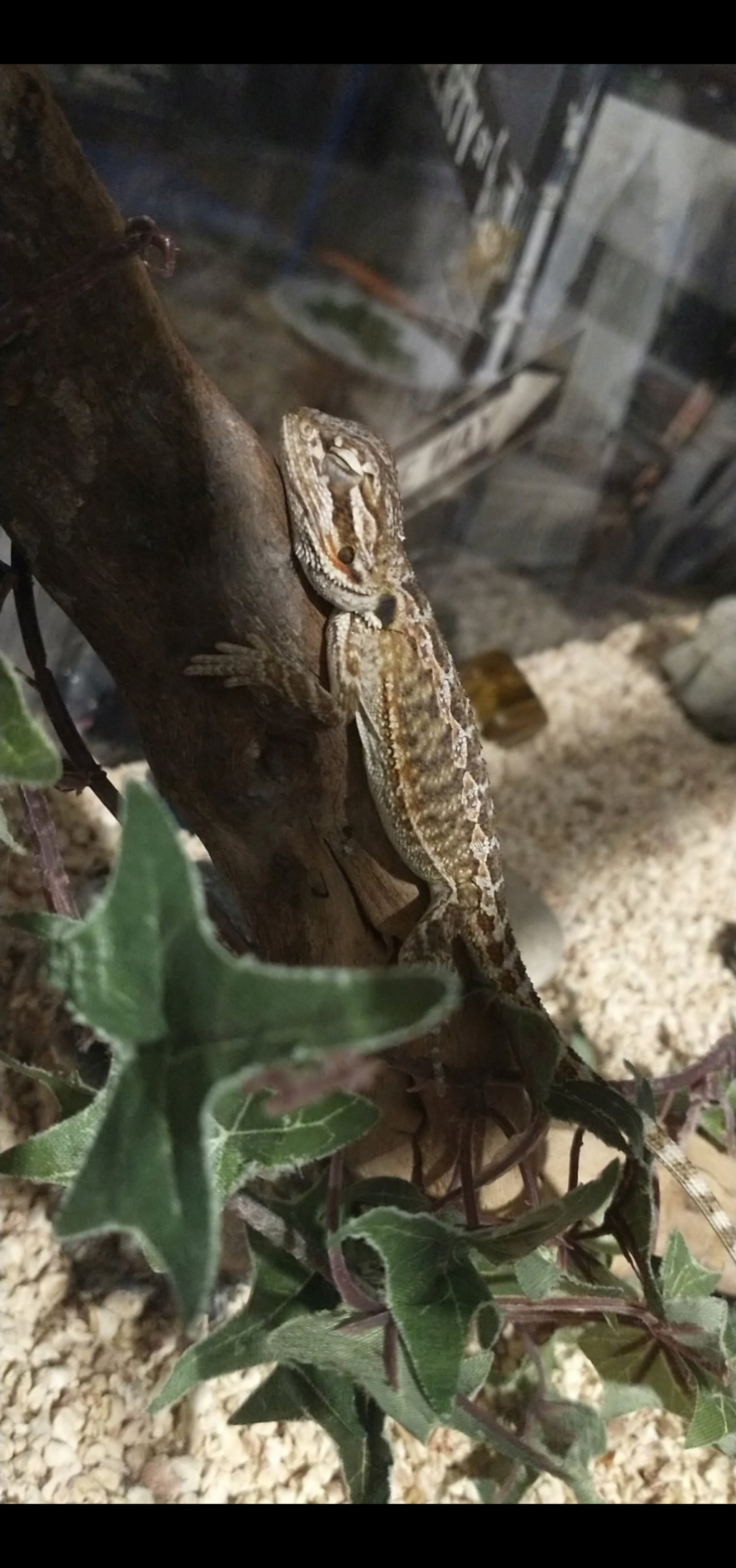 Mon Pogona Screen12