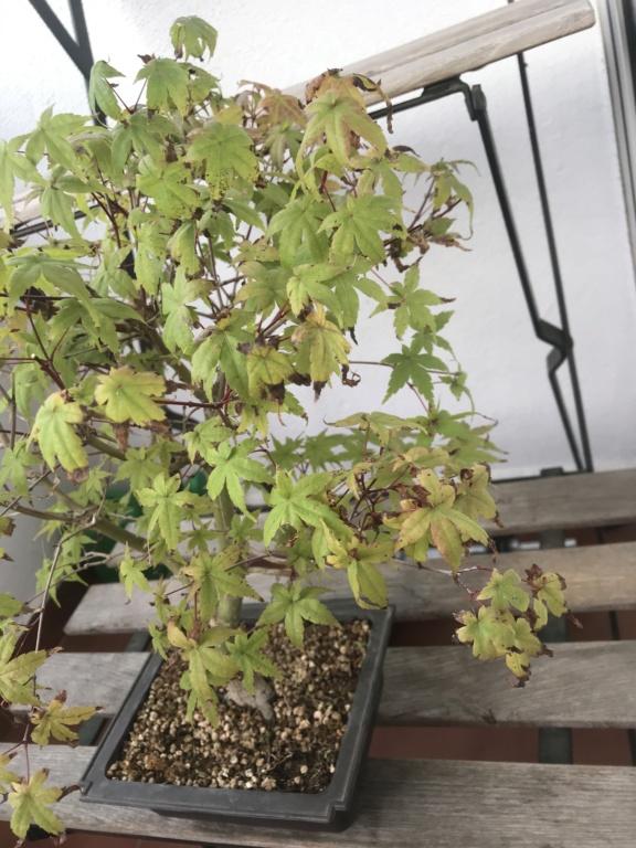Arce hojas quemadas Img_2713