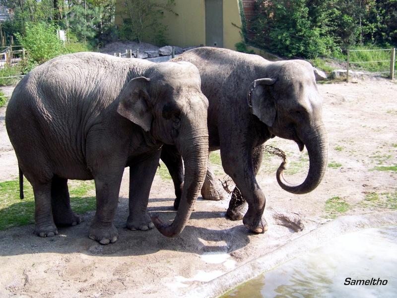 Les elephants (Elephas maximus) 100_1712