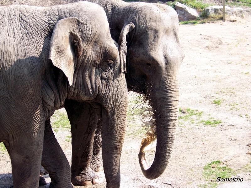 Les elephants (Elephas maximus) 100_1713