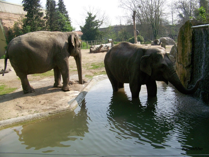 Les elephants (Elephas maximus) 100_1714