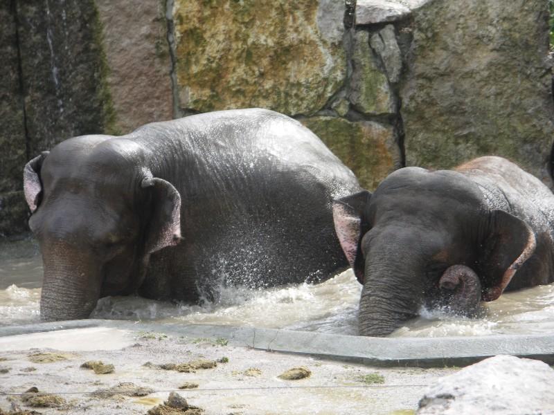 Les elephants (Elephas maximus) Pict0010