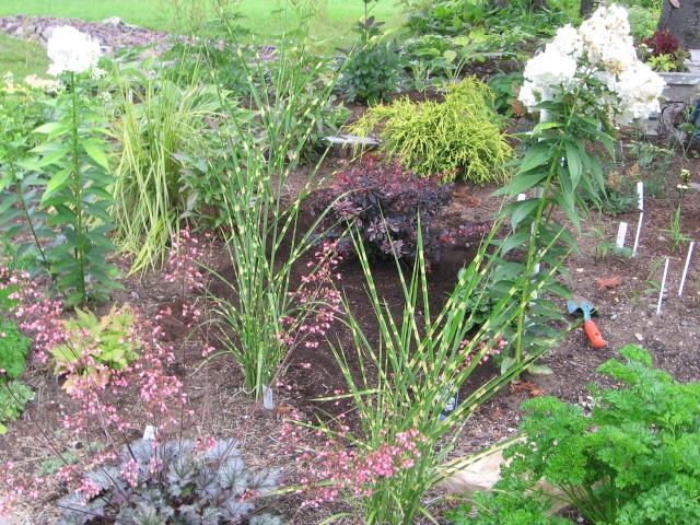 Berberis thubergii - Épine-vinette de Thunberg 08-09-13