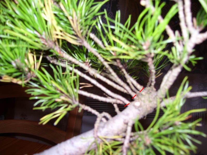 Taille et travail sur les bourgeons d'un pin mugo Pinmug10