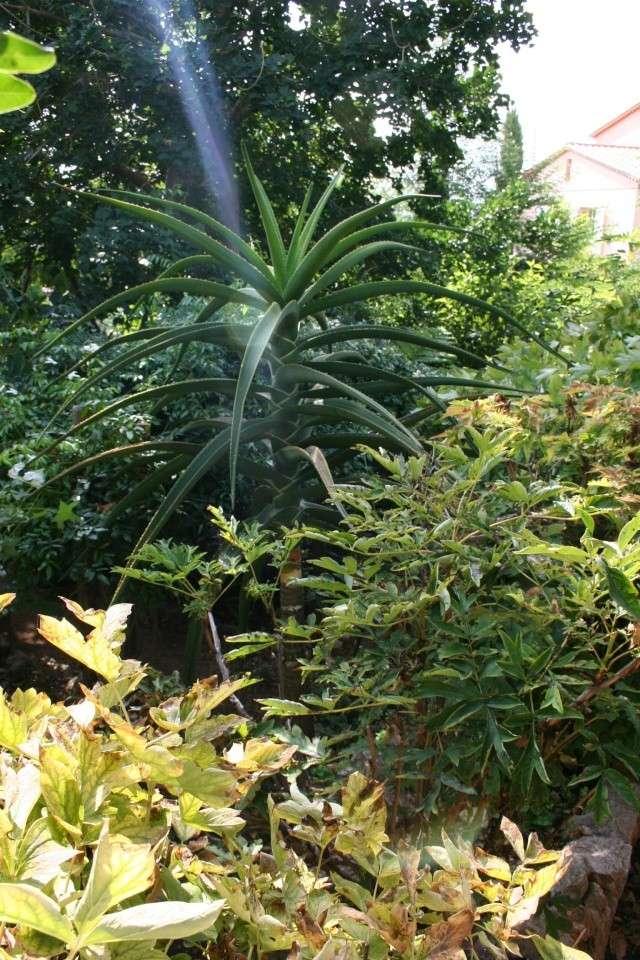 Visite d'un jardin extraordinaire Aloe_b10