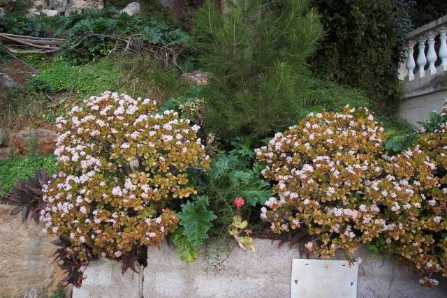 tite question pour les futurs fleurs de mon crassula Beauso10