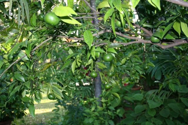 Ce matin , petit tour de jardin Citrus10